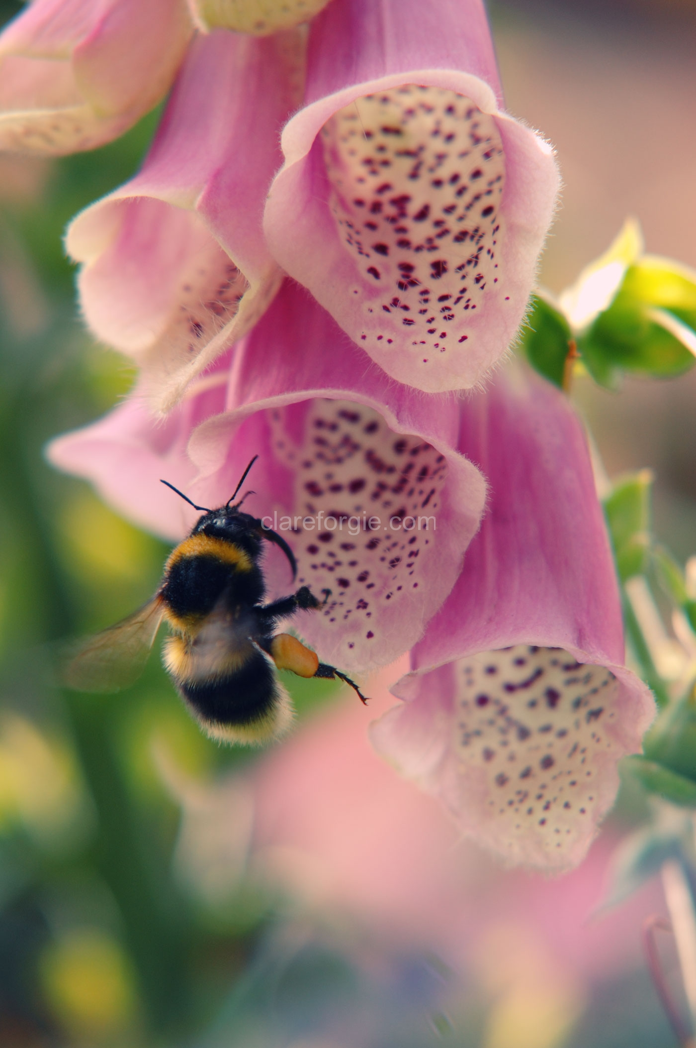 bumble-bee-and-foxglove