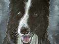 Harley-the-Border-Collie-2